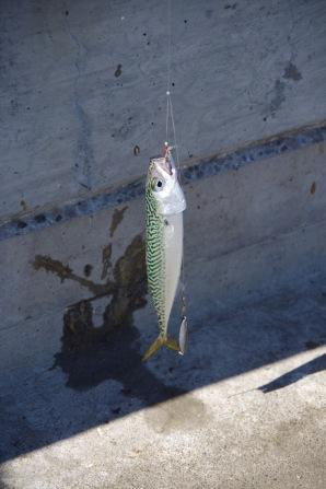 Jahedast ookeanist kuuma tõstetud noor makrell