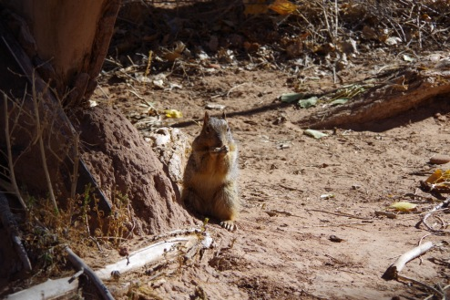 Navajo orav