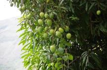 mangopuu