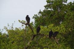 Kamp kohalikke: los zopilotes negros